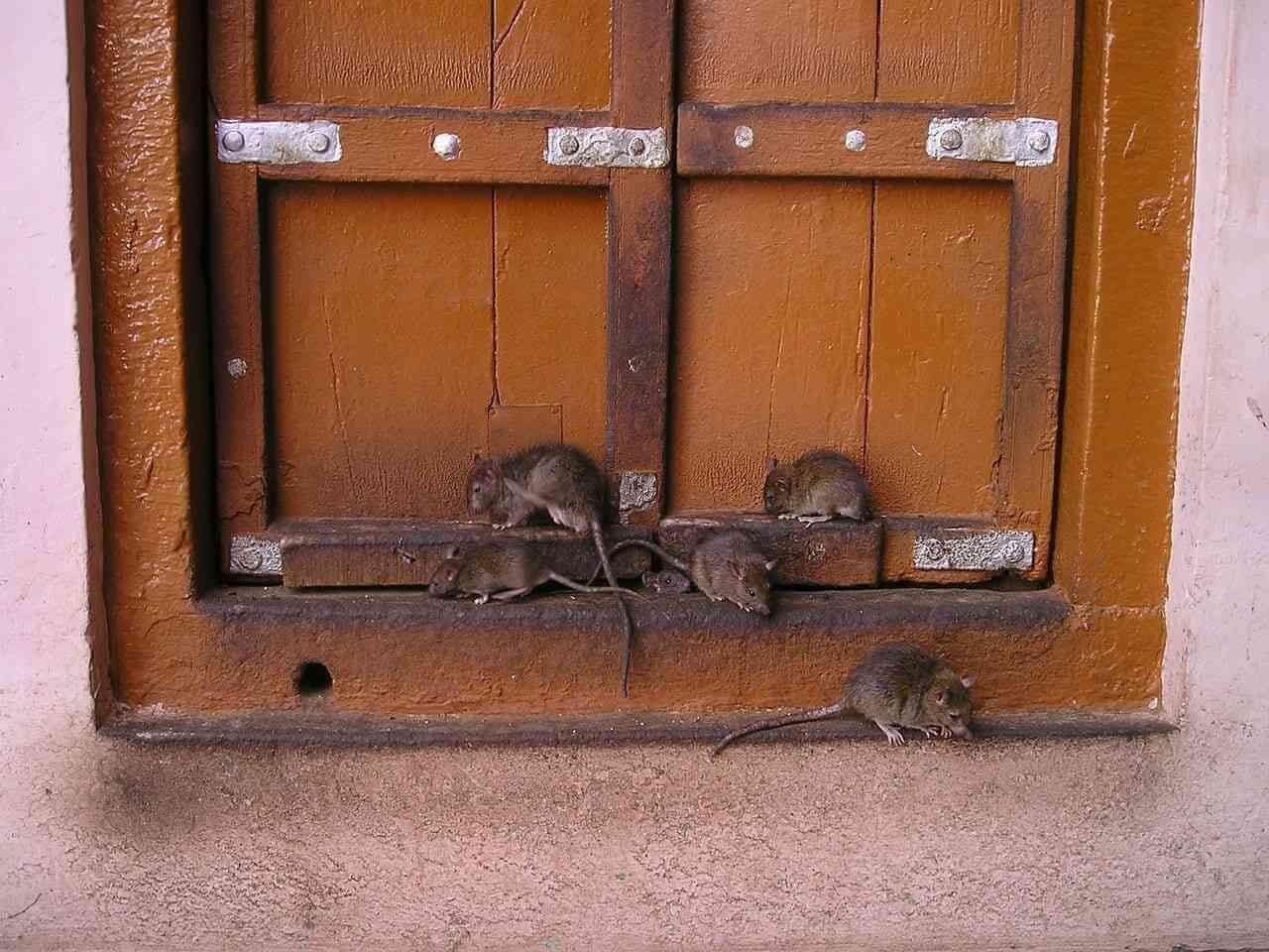 Mata ratas